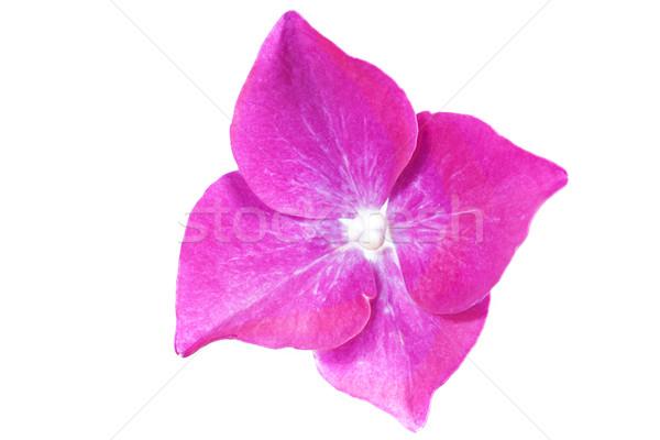Hydrangea flower, closeup on white background Stock photo © haraldmuc
