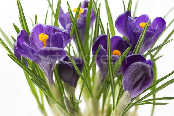 Lilac crocus flowers closeup Stock photo © haraldmuc