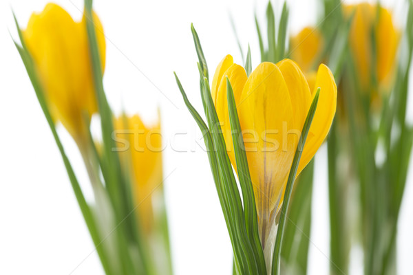 Giallo crocus fiori bianco fiore primavera Foto d'archivio © haraldmuc