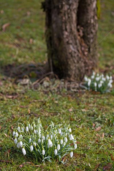 Spring snowdrop flowers Stock photo © haraldmuc