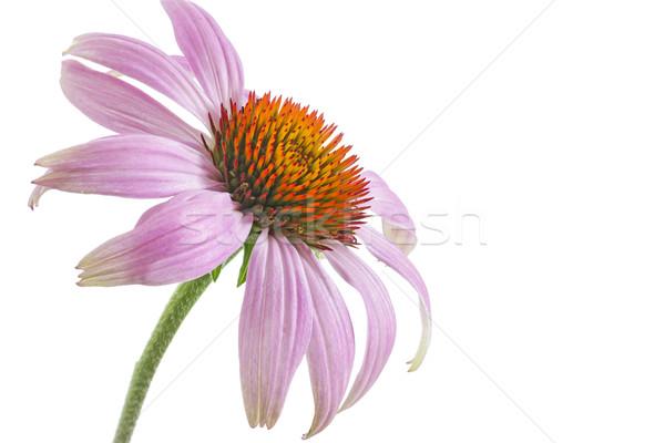 Bloem witte achtergrond geneeskunde planten studio Stockfoto © haraldmuc