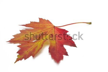 ősz juharlevél fehér fa természet levél Stock fotó © haraldmuc
