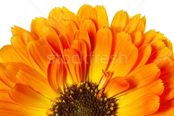 Orange pot marigold (Calendula officinalis) flower Stock photo © haraldmuc