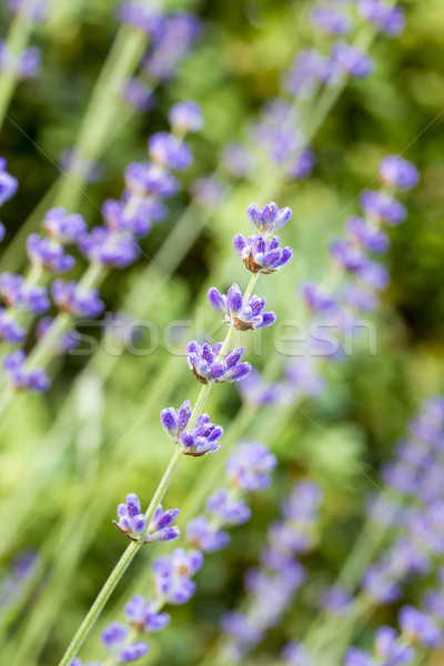Lavender flowers (Lavandula angustifolia), shallow DOF Stock photo © haraldmuc