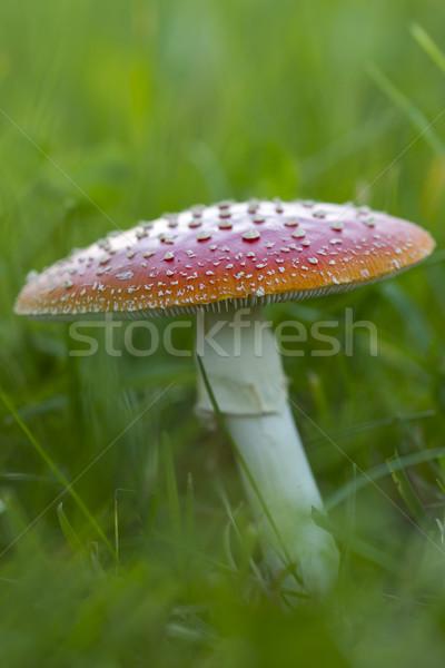 Vliegen vruchten lichaam buiten weide bos Stockfoto © haraldmuc