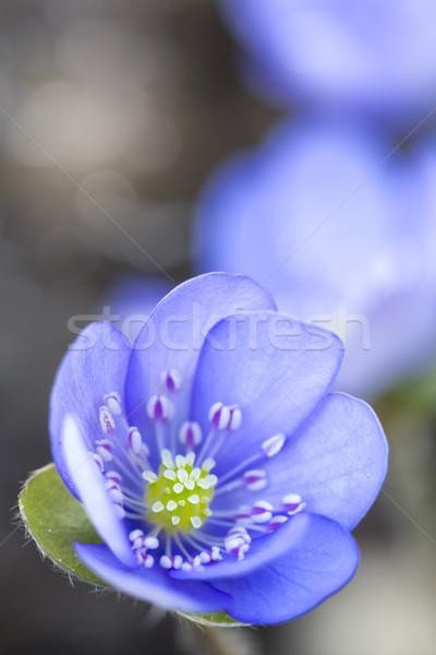 Flor tiro flores natureza jardim Foto stock © haraldmuc