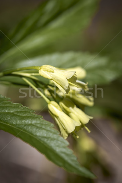 çiçek orman yeşil sarı makro yaprakları Stok fotoğraf © haraldmuc
