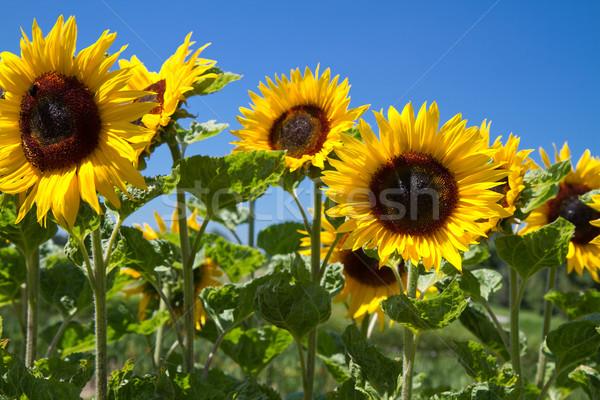Blooming Sunflowers (Helianthus)  Stock photo © haraldmuc