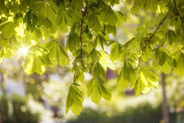 Flowering chestnut tree (Aesculus hippocastanum) Stock photo © haraldmuc