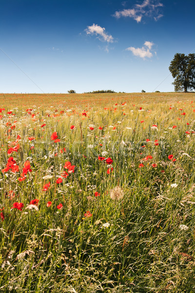 Poppy field in central Italy Stock photo © haraldmuc
