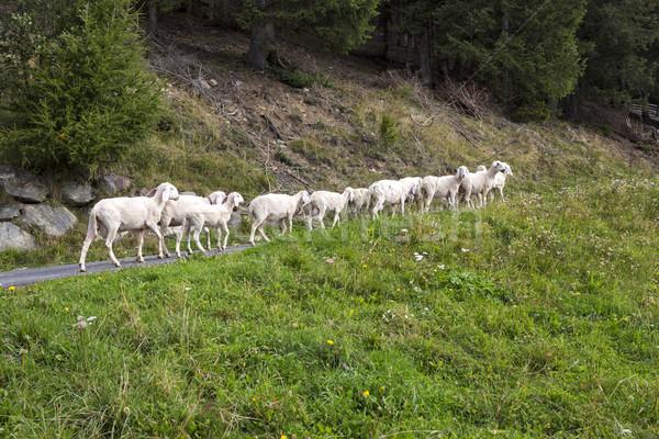 Kicsi nyáj birka északi Olaszország fű Stock fotó © haraldmuc