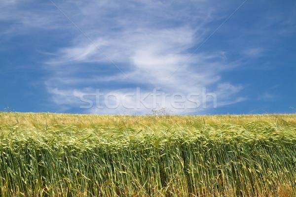Fresh barley field (Hordeum) in Bavaria, Germany Stock photo © haraldmuc
