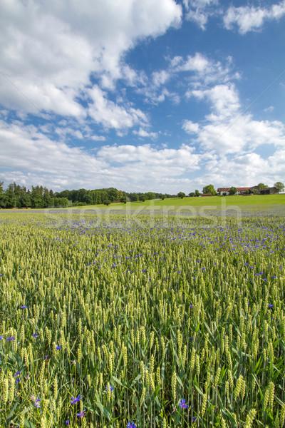 Blooming Cornflowers (Centaurea cyanus) in a wheat field Stock photo © haraldmuc