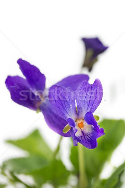 Purple violet (Viola Odorata), closeup Stock photo © haraldmuc