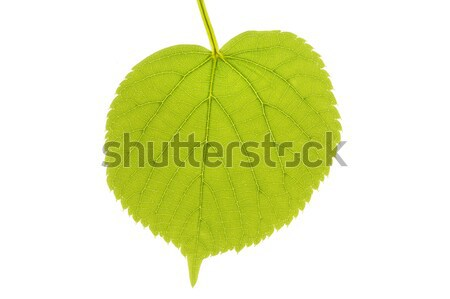 Lime tree leaf in spring, isolated on white Stock photo © haraldmuc