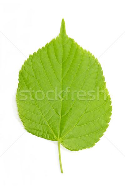 Hazel leaf (Corylus Avellana)  Stock photo © haraldmuc