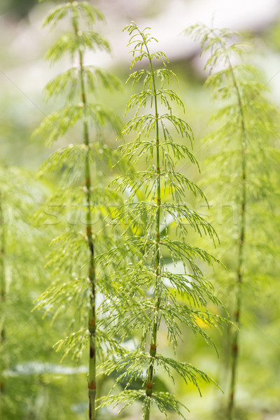 Wood horsetail (Equisetum sylvaticum) with shallow DOF Stock photo © haraldmuc