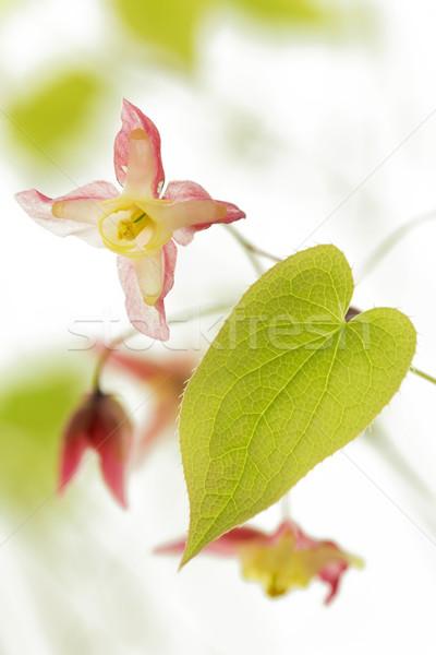 Barrenwort (Epimedium rubrum) flower Stock photo © haraldmuc
