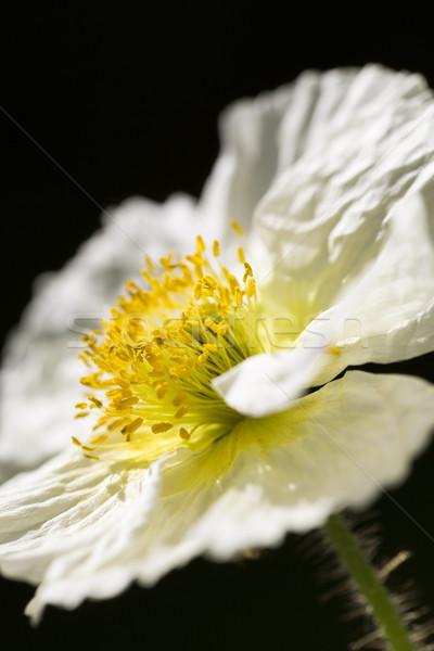White Iceland poppy (Papaver nudicaule)  Stock photo © haraldmuc