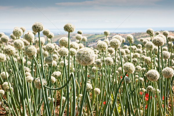 Onionfield in Italy Stock photo © haraldmuc