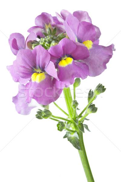 Kwiaty biały kwiat wiosną tle piękna Zdjęcia stock © haraldmuc
