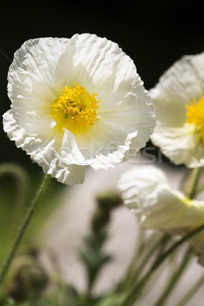 Biały Islandia maku kwiat ogród piękna Zdjęcia stock © haraldmuc
