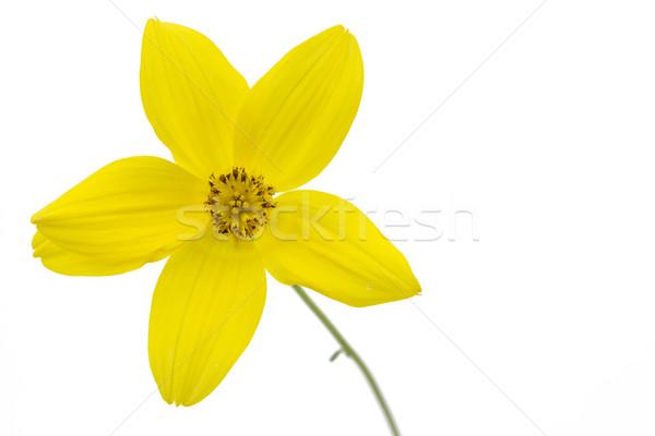 Bidens Ferulifolia or Verbena Amarilla flower Stock photo © haraldmuc