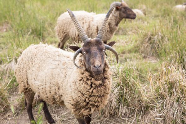 Legelő fű mező farm birka állat Stock fotó © haraldmuc
