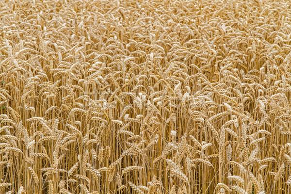 Wheat field closeup, format filling Stock photo © haraldmuc