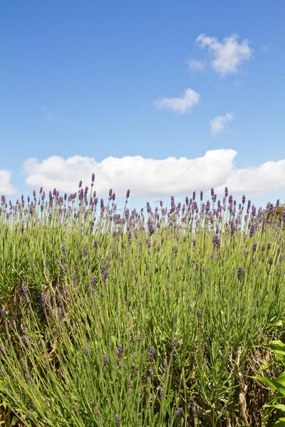 Lavender (Lavandula angustifolia) farming on the channel islands Stock photo © haraldmuc
