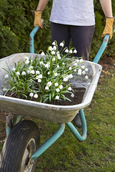 Spring snowflake flowers (Leucojum vernum) in a wheelbarrow Stock photo © haraldmuc