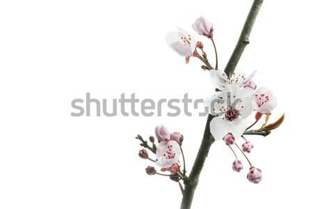 Cseresznye szilva virágok fehér tavasz kert Stock fotó © haraldmuc