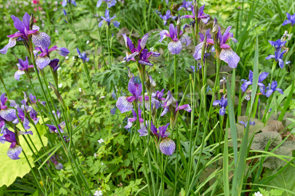 Púrpura iris flores jardín fuera primavera Foto stock © haraldmuc