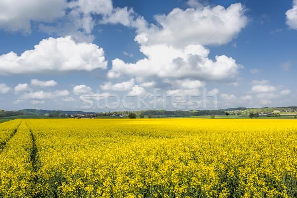 Blooming rapeseed field in summer, Bavaria, Germany Stock photo © haraldmuc