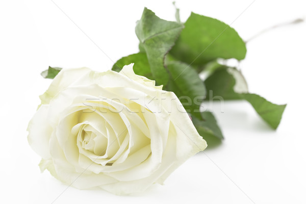 сливочный белый роза крупным планом весны любви природы Сток-фото © haraldmuc