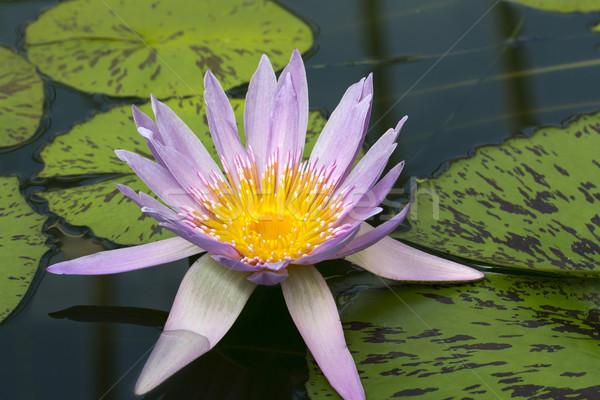 Víz liliom medence virág tavasz fény Stock fotó © haraldmuc