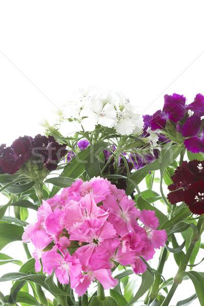 Dianthus Barbatus flowers on white background Stock photo © haraldmuc