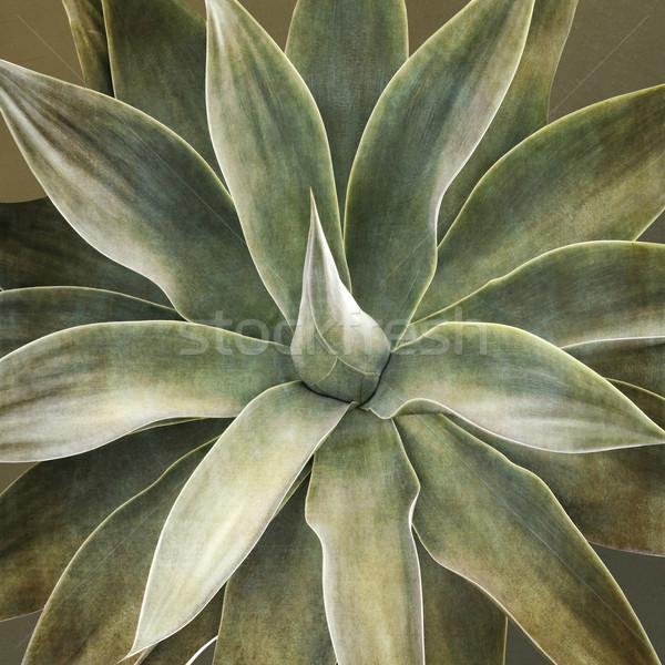 Agave planta folha jardim fundo Foto stock © haraldmuc