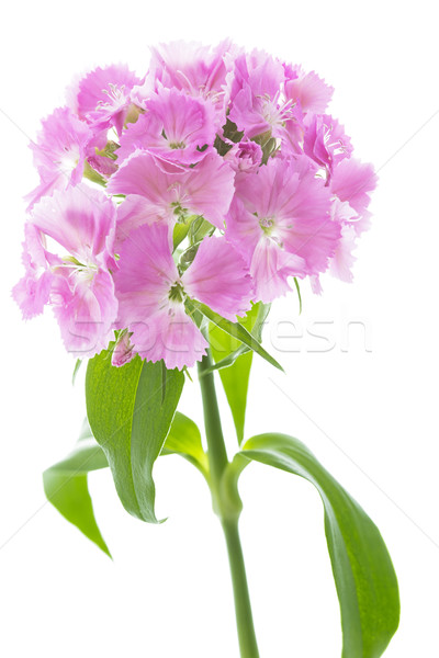 Bloemen witte bloem natuur tuin zomer Stockfoto © haraldmuc