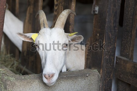 Kecske állat istálló tej fehér férfi Stock fotó © haraldmuc