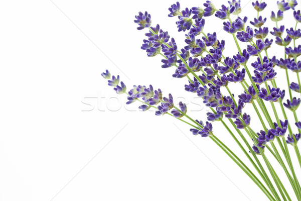 Lavender flowers (Lavandula angustifolia)  Stock photo © haraldmuc