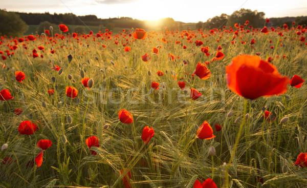 Virágzó pipacs mező meleg este fény Stock fotó © haraldmuc