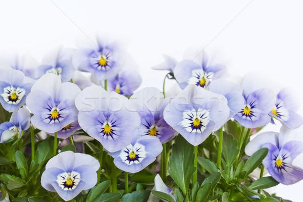 Viola cornuta flowers Stock photo © haraldmuc