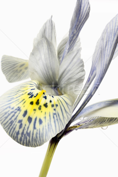 Iris primer plano flor primavera tiempo planta Foto stock © haraldmuc