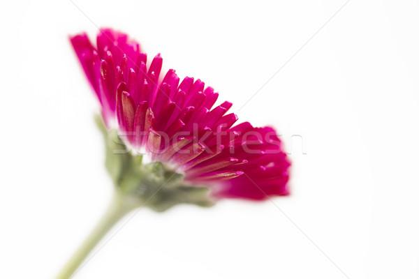 Bloem witte zomer Rood daisy plant Stockfoto © haraldmuc