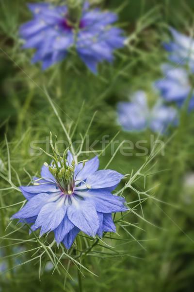 Nigella damascena flowers (Bluebottle) Stock photo © haraldmuc