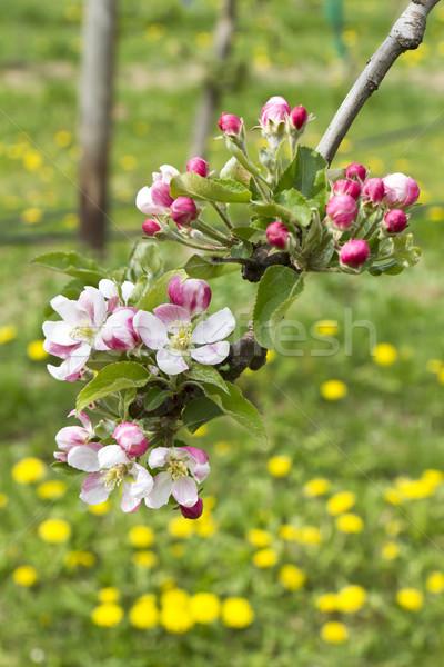 Appel bloesems roze weide voorjaar landschap Stockfoto © haraldmuc