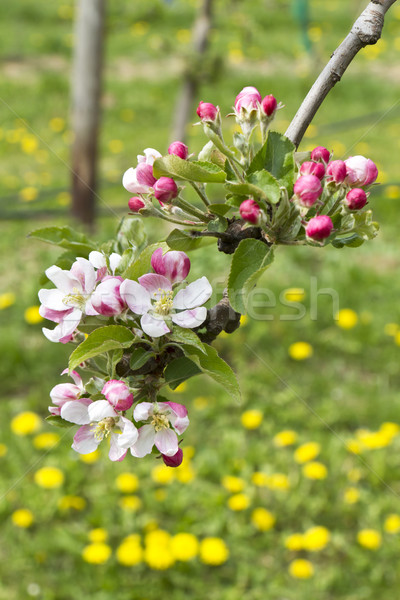Pomme fleurs rose prairie printemps paysage Photo stock © haraldmuc