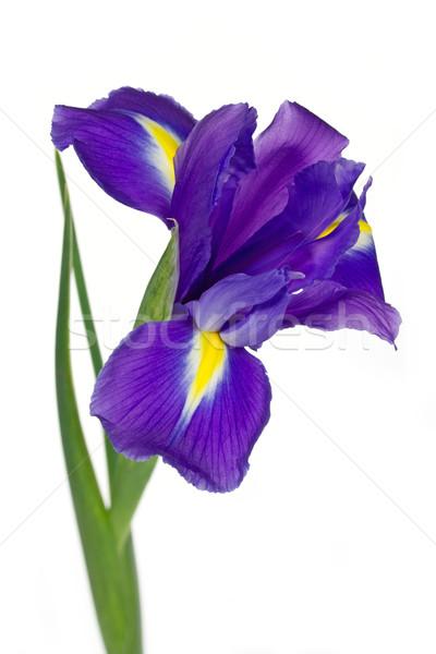Oscuro púrpura iris flores aislado blanco Foto stock © haraldmuc
