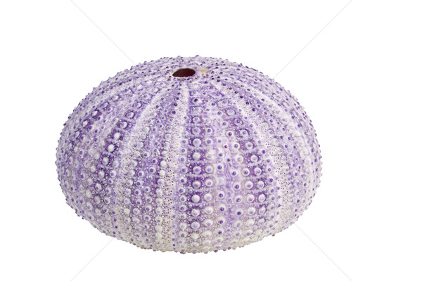 Stock photo: Sea urchin shell isolated on white